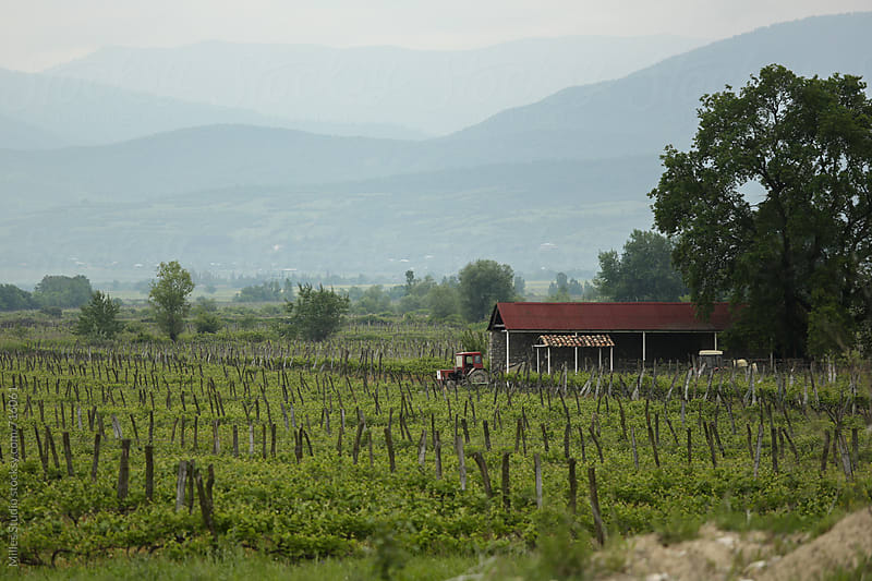 Grape cultivation by Milles Studio for Stocksy United