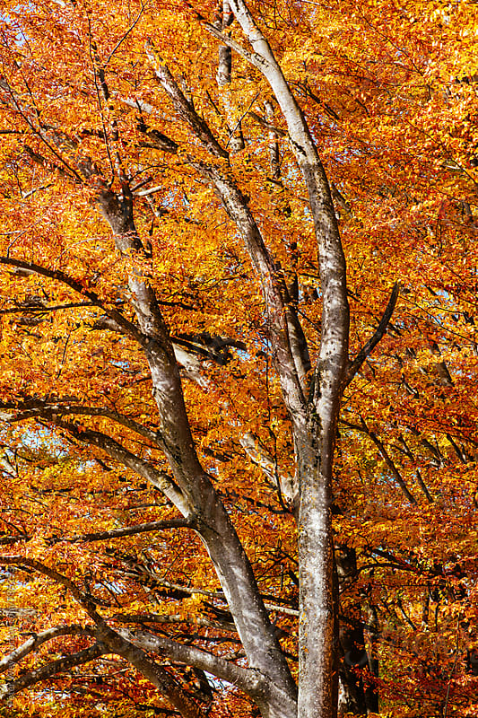 Colorful tree in autumn by Peter Wey for Stocksy United