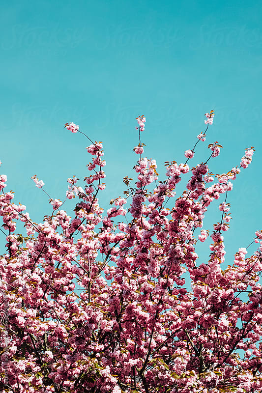 Pink Cherry Blossom Branches by Katarina Radovic for Stocksy United