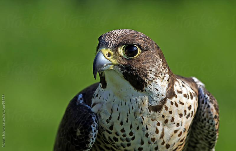 Peregrine Falcon by Marilar Irastorza for Stocksy United