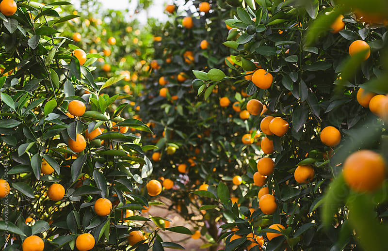 Tangerine tree with ripe tangerines in Laos by Jovo Jovanovic for Stocksy United
