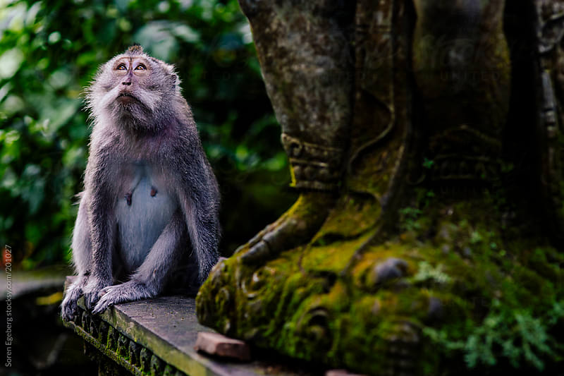 Wild monkeys playing in temple forest in Bali by Soren Egeberg for Stocksy United