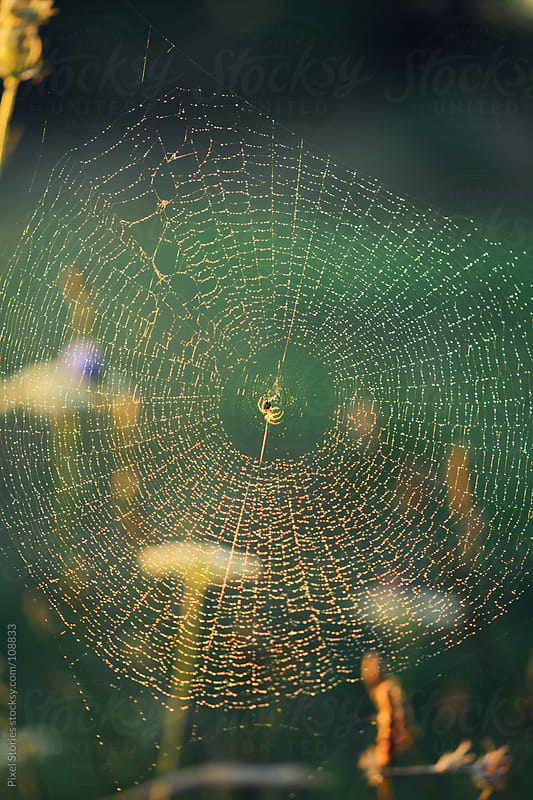 Spider and dew by Pixel Stories for Stocksy United