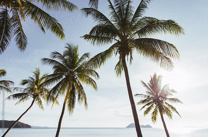 Beachfront Coconut Palms by VISUALSPECTRUM for Stocksy United