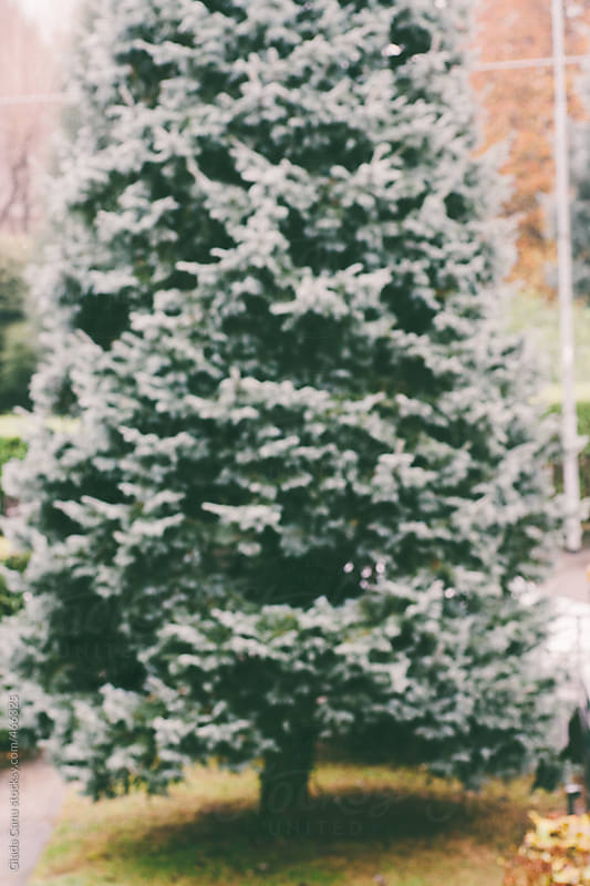 Pine tree by Giada Canu for Stocksy United