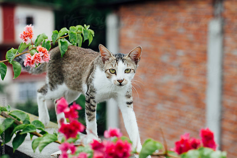 Cat walking on the terrace. by Shikhar Bhattarai for Stocksy United