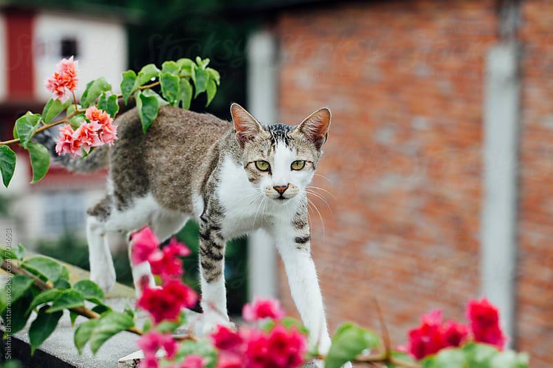 Cat walking on the terrace. by Shikhar Bhattarai for Stocksy United