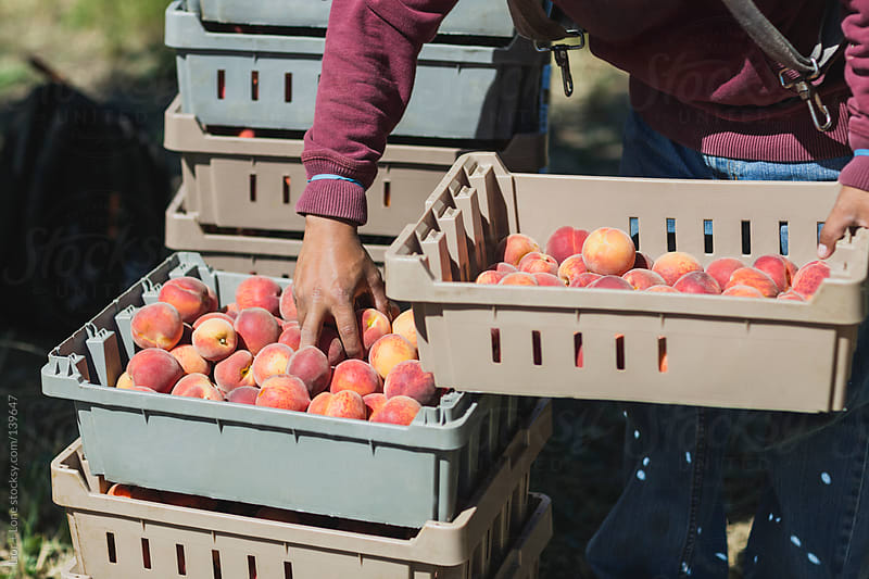 hands picking from crate of fresh peaches by Lior + Lone for Stocksy United