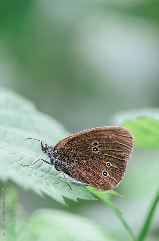 Ringlet Butterfly. Norfolk, UK. by Liam Grant for Stocksy United