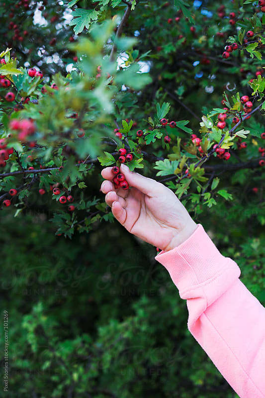 Hands picking hawthorn by Pixel Stories for Stocksy United