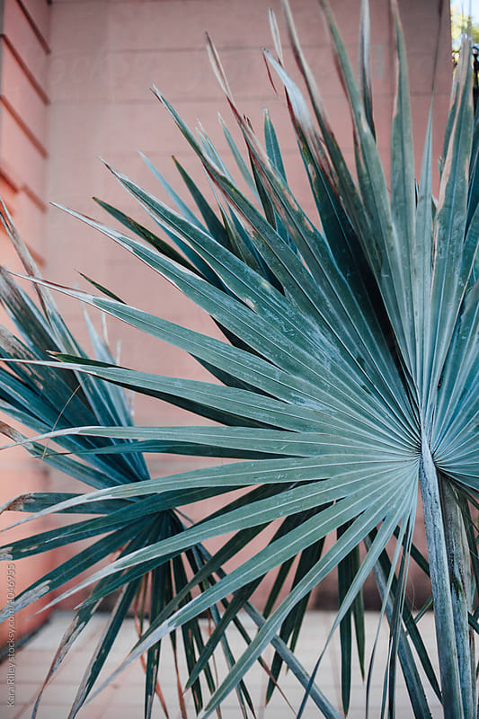 Palm Leaf on Pink Wall by Kara Riley for Stocksy United