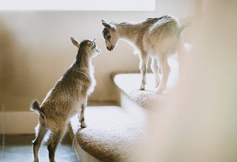 Baby pygmy goats by the window indoors by Rachel Bellinsky for Stocksy United