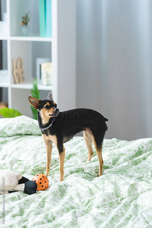 Miniature Pinscher dog by Milles Studio for Stocksy United