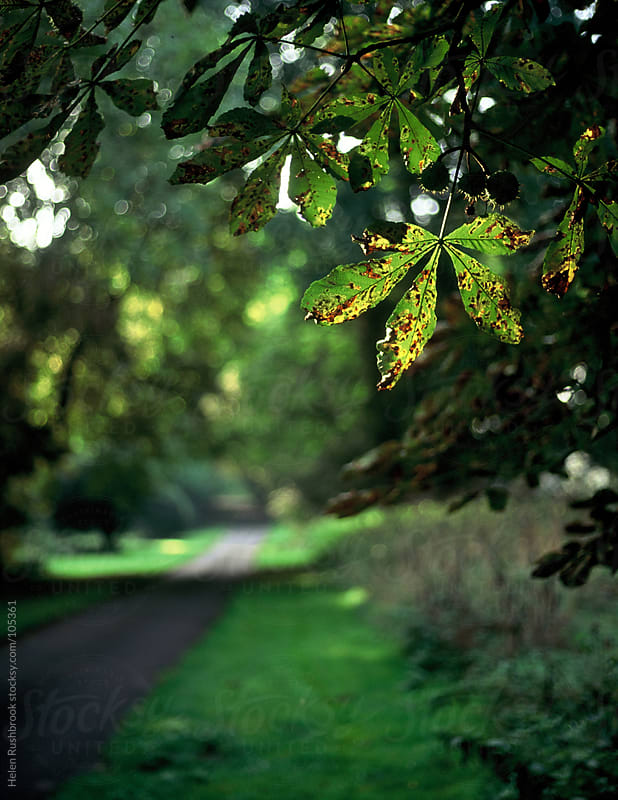Backlit horse chestnut leaves overhanging a country road. by Helen Rushbrook for Stocksy United