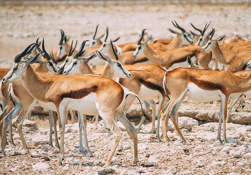 Messy herd of springbok by Alejandro Moreno de Carlos for Stocksy United