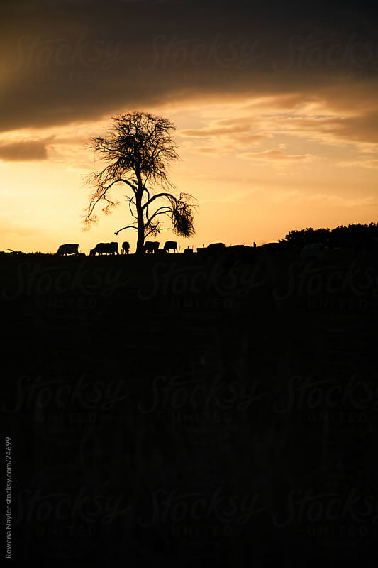 Silhouetted Landscape with Cattle On a Hill by Rowena Naylor for Stocksy United
