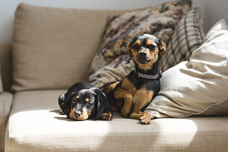Two dogs on couch by Milles Studio for Stocksy United