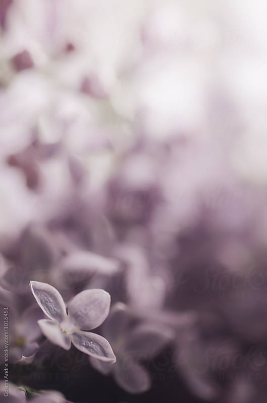 Spring lilac flower by Cosma Andrei for Stocksy United