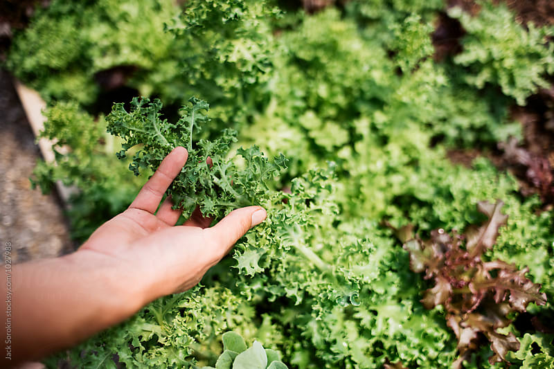 Person Picking Salad Mix by Jack Sorokin for Stocksy United