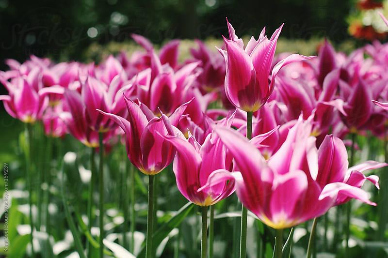 Sunlit flowerbed of magenta spiked tulips in The Netherlands by Kaat Zoetekouw for Stocksy United