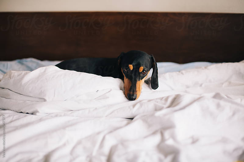 Adorable black dog lying on the bed  by VeaVea for Stocksy United
