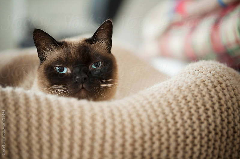 Portrait of cat laying in kennel on woolen blanket and looking straight at the camera by Laura Stolfi for Stocksy United
