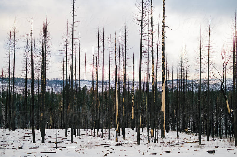 An area of a forest burned by a wildfire a couple of years prior. by Lucas Saugen for Stocksy United