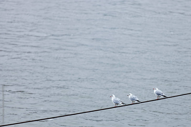Seagulls in a line perched on a rope at sea by Emoke Szabo for Stocksy United