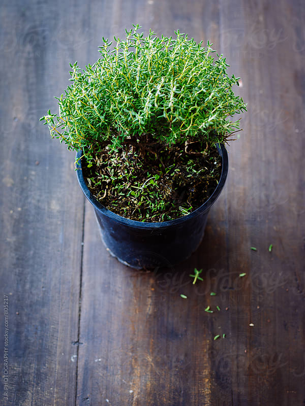 Thyme in pot by J.R. PHOTOGRAPHY for Stocksy United
