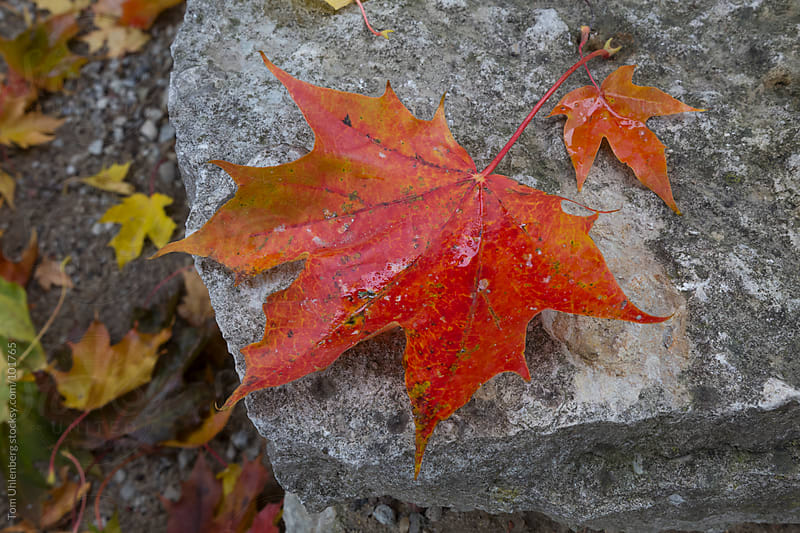 Wet Red Maple Leaf on Stone by Tom Uhlenberg for Stocksy United