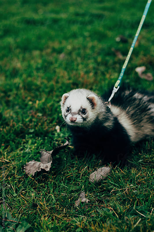 Weasel walking through the park  by Evil Pixels Photography for Stocksy United