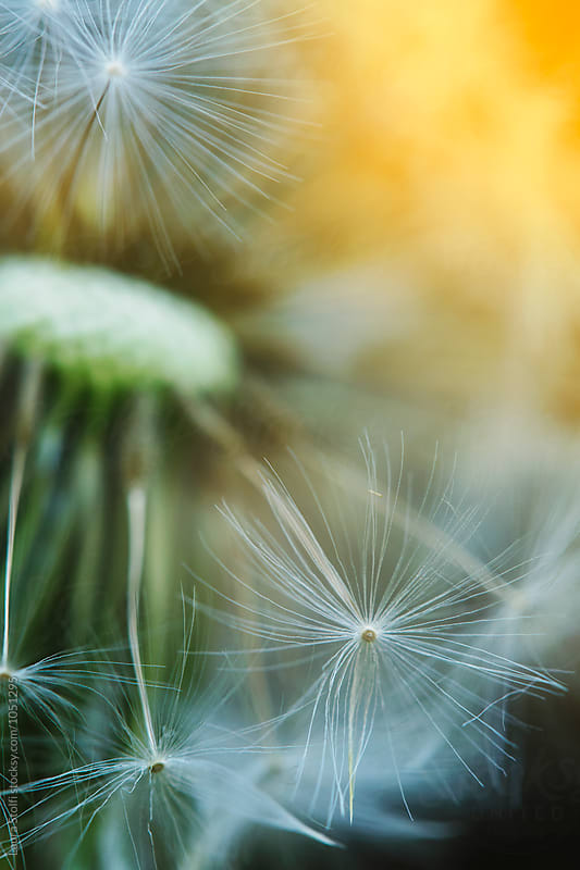 Sunrays behind dandelion flower head, close up by Laura Stolfi for Stocksy United
