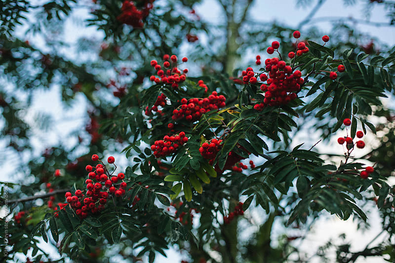 Rowan berry tree by Kitty Kleyn for Stocksy United