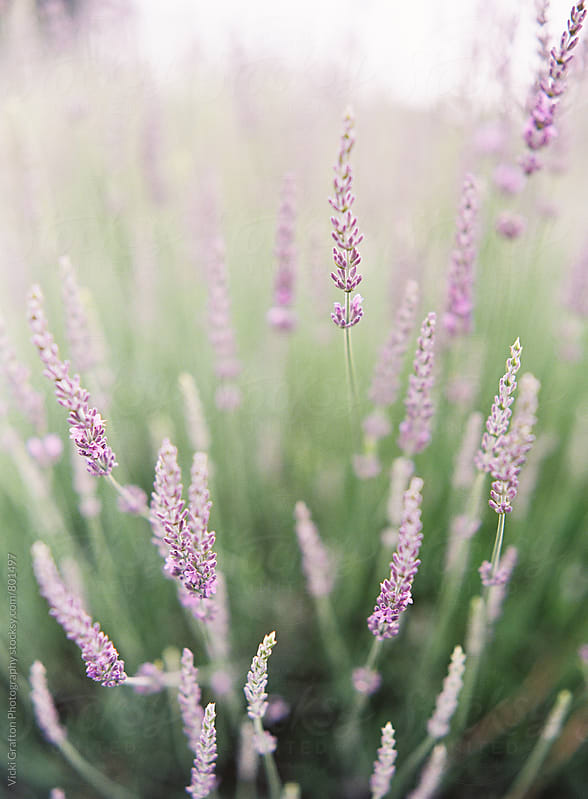 Spring lavender  by Vicki Grafton Photography for Stocksy United