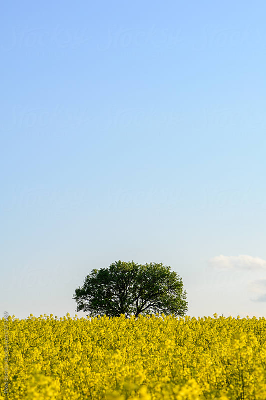 Rapeseed field with tree by Pixel Stories for Stocksy United