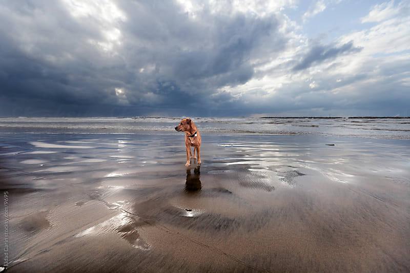Winter Beach Dog by Eldad Carin for Stocksy United