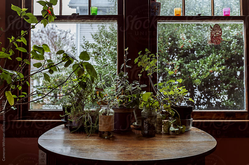 House plants and herbs reaching for the light of the window  by Cameron Whitman for Stocksy United