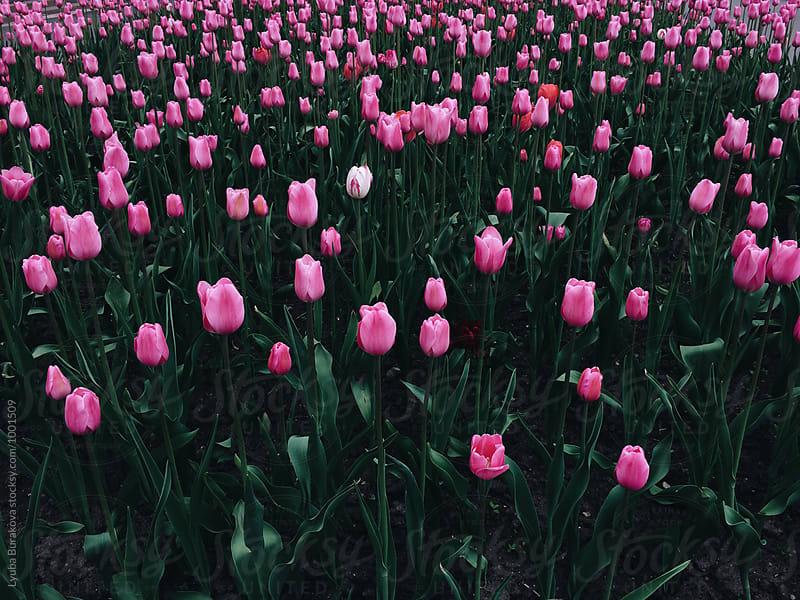 Field of pink tulips by Lyuba Burakova for Stocksy United