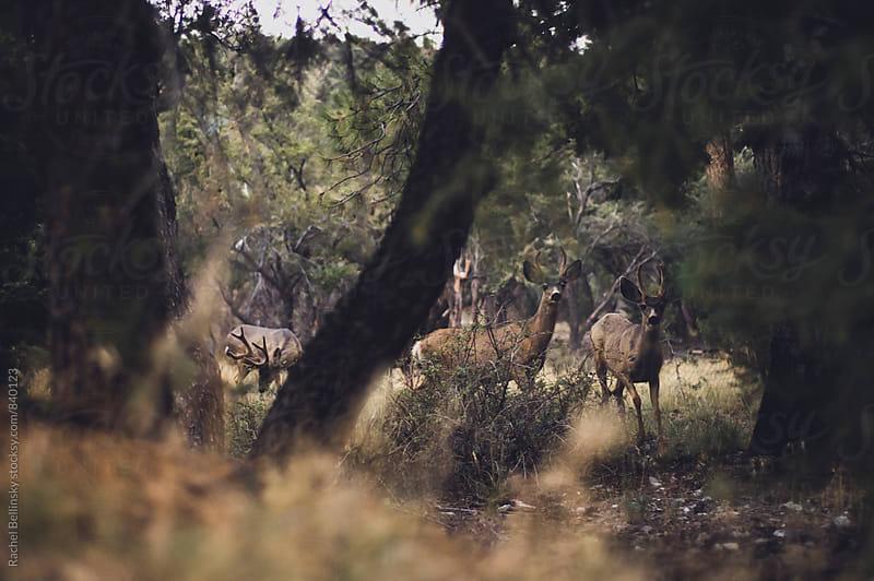 Several timid deer behind forest trees by Rachel Bellinsky for Stocksy United