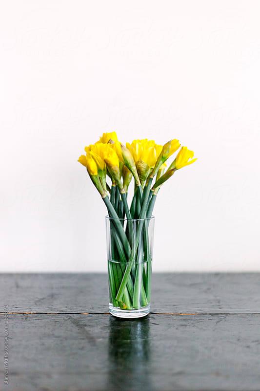Spring daffodils  by Darren Muir for Stocksy United