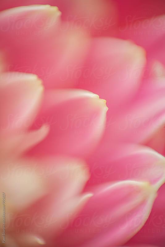 Pink Gerbera flower macro details by Pixel Stories for Stocksy United