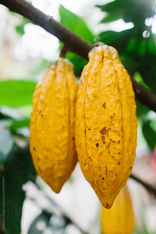 cocoa pod by Cameron Zegers for Stocksy United