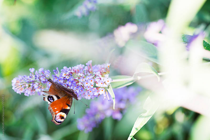 Sun shining on butterfly pollinating purple buddleia inflorescence by Laura Stolfi for Stocksy United