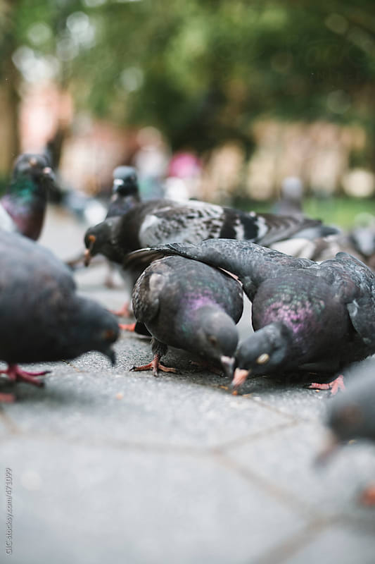 Flock of pigeons in the park by GIC for Stocksy United