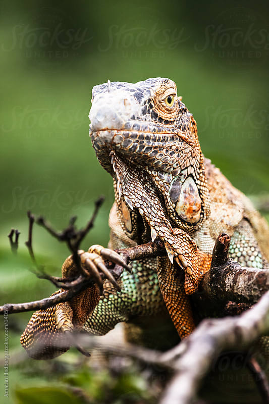 Green iguana by Jonatan Hedberg for Stocksy United