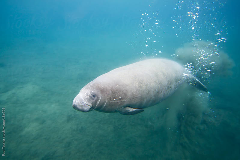 Florida Manatee by Paul Tessier for Stocksy United