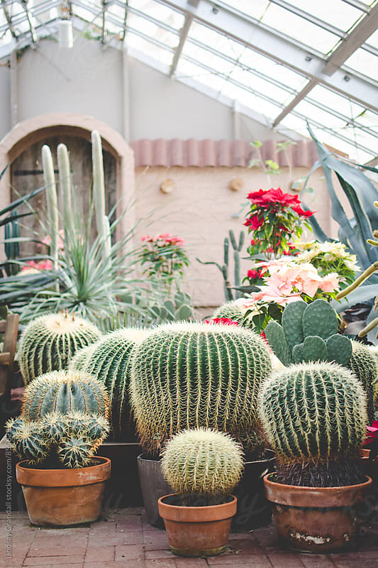 Cacti in a conservatory by Lindsay Crandall for Stocksy United