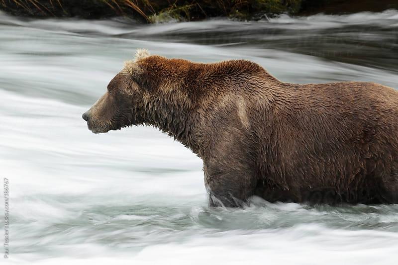 Bear in River by Paul Tessier for Stocksy United