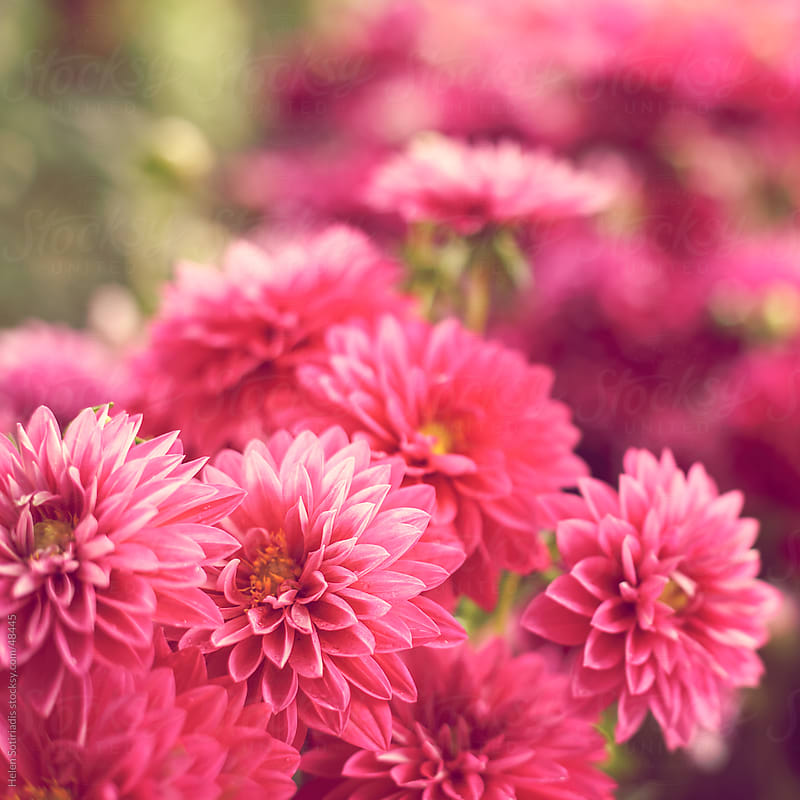 Soft pink dahlias by Helen Sotiriadis for Stocksy United