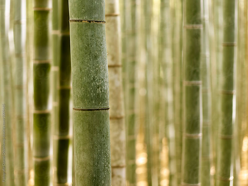 Closeup of Bamboo Forest Grove by Fotografie Daniel Osterkamp for Stocksy United